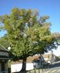 arbre_liberte